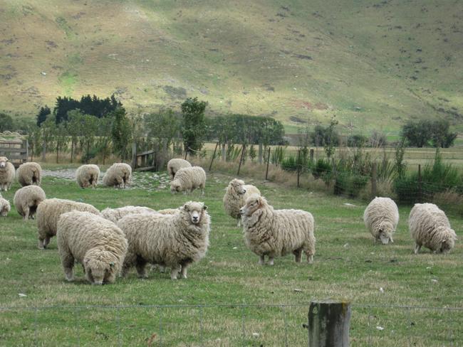 Merinoschafe_NZ
