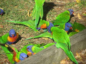 Regenbogenpapageien_Australien